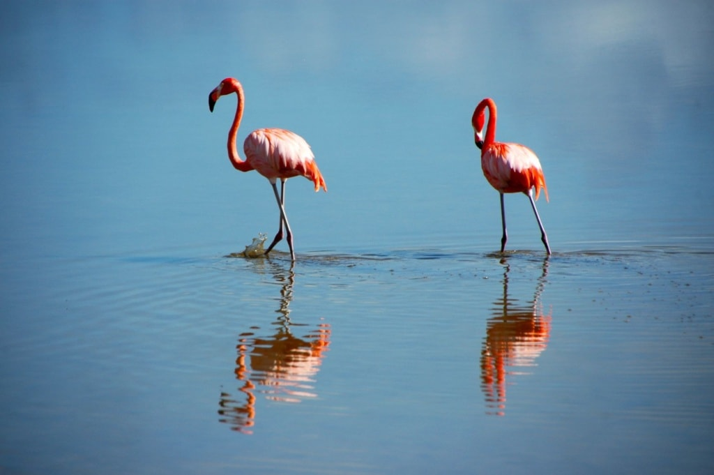 Flamingos in Katar