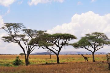Diese Giraffe sucht sich ein schattiges Plätzchen in der Mittagshitze.