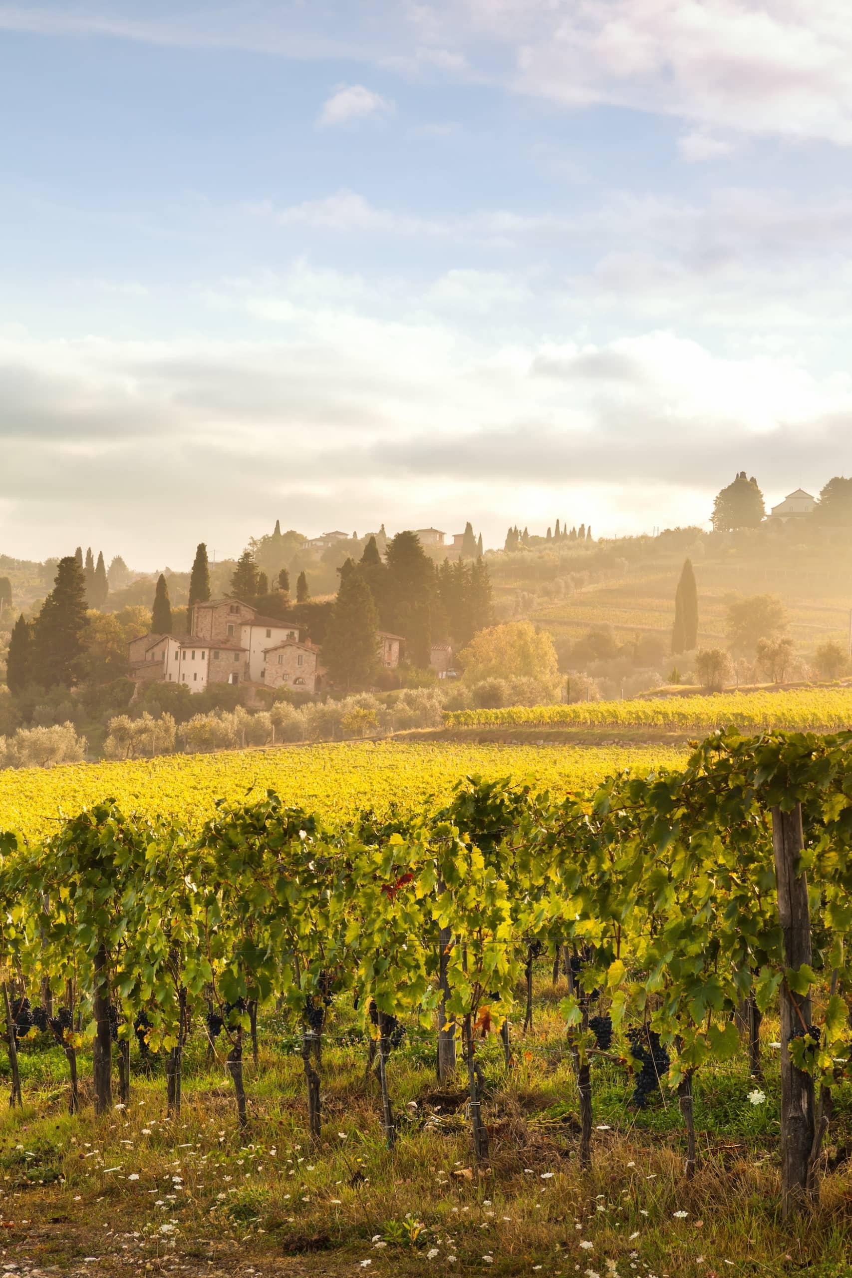 Weinfelder eines Weinguts in der Toskana