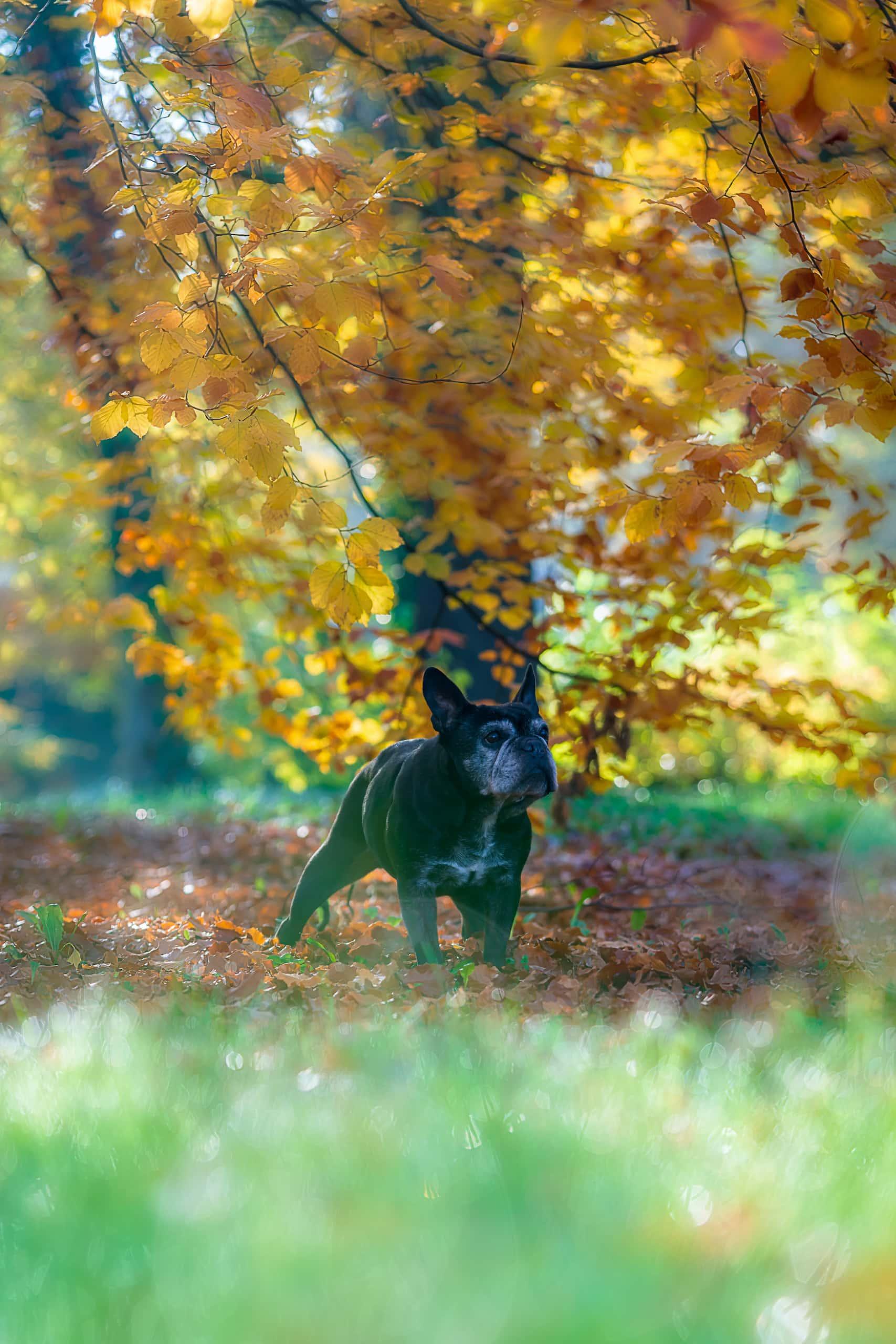 Hund spielt im Laub im Stadtpark in Leipzig