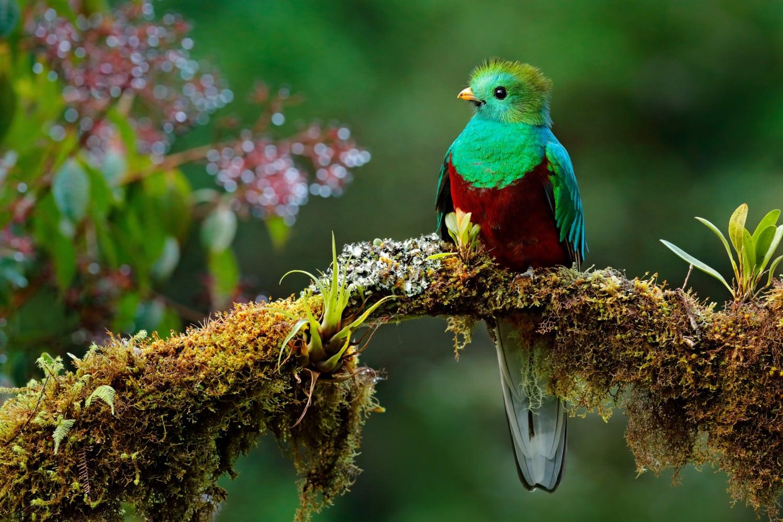 Quetzal Vogel mit grün, rotem Gefieder in Urwald