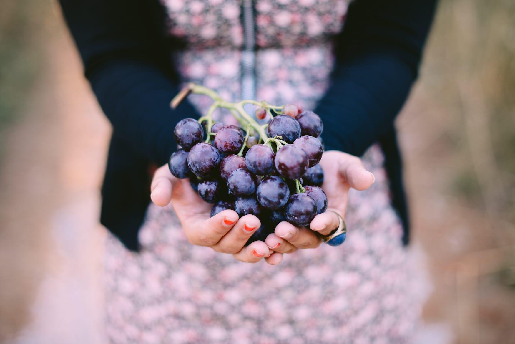 Trauben für Chianti Wein