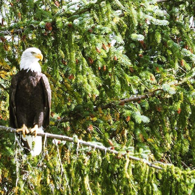 Wo die Adler kreisen … Chefredakteurin @fraumuksch hat bei ihrer Tour im #bellacoolavalley in #Kanada viele Adler gesehen. #welivetoexplore #traveldeeper #wildlifephotography