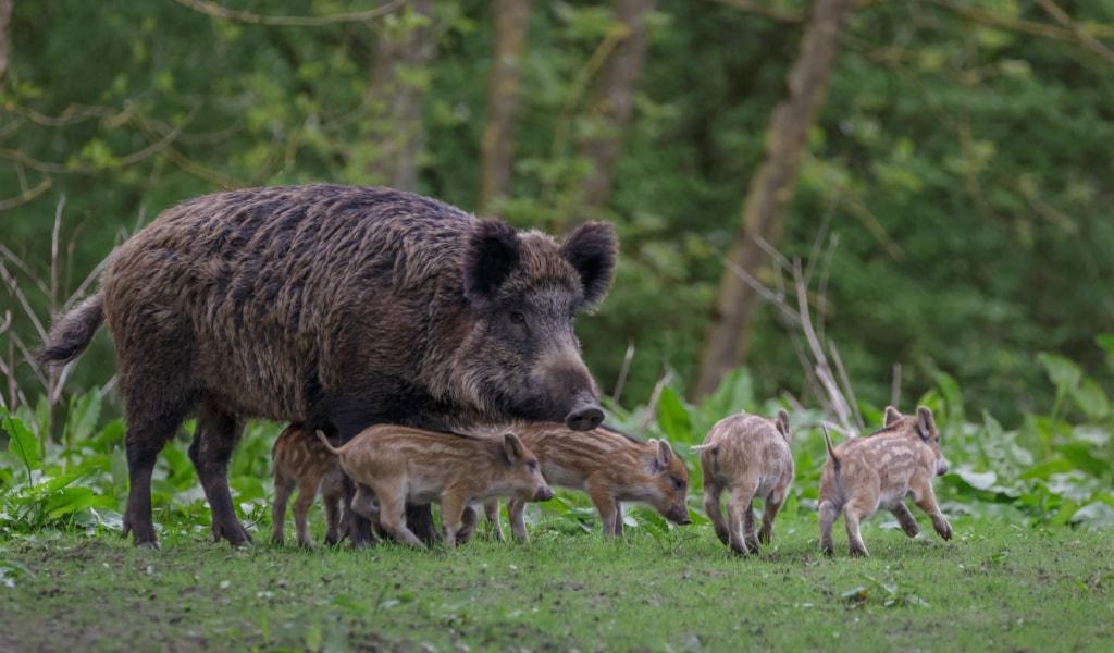 Familie Wildschweine