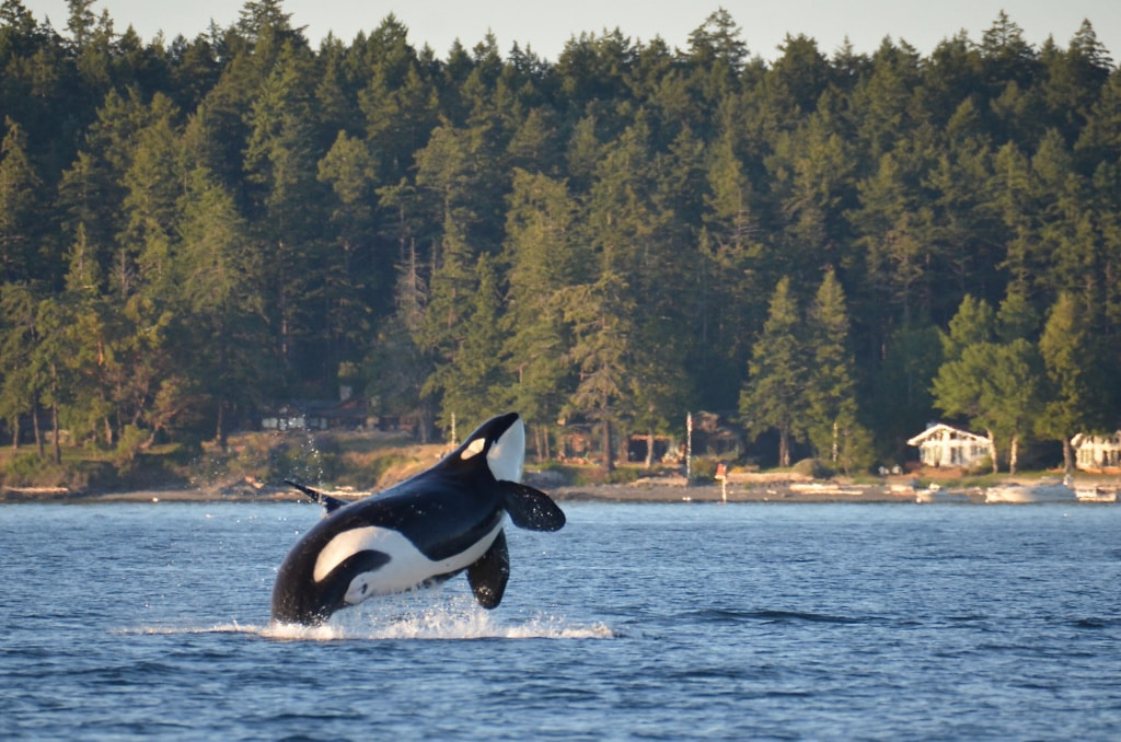 Orcas in San Juan Islands in Washington
