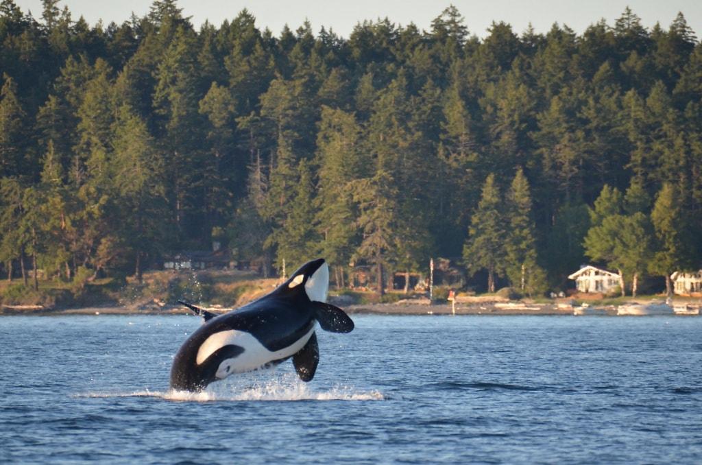 Orcas in San Juan Islands in Washington