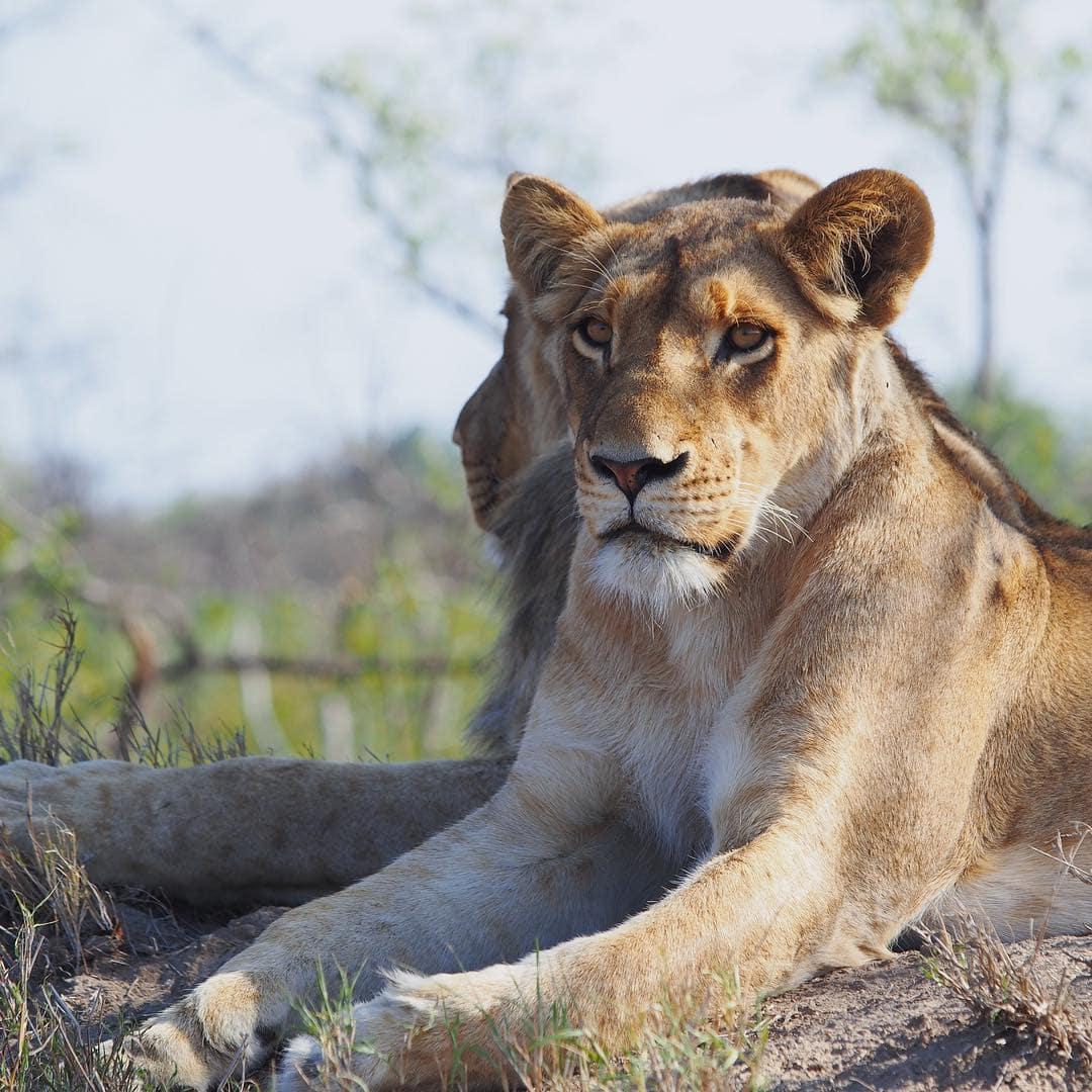 Bei diesem Anblick war Redakteurin Linda @gold_gelb einfach sprachlos. Königlich sonnen sich die Löwen im Sabi Sabi Game Reserve in Südafrika. Auf einer Safari kommt man nicht nur Löwen nah. Auch Giraffen, Leoparden, Nashörner usw kreuzen die Wege. #sabisabi #safari #südafrika #afrika #passionpassport #reportervorort #mytinyatlas #travelgram #southafrica #welivetoexplore @sabisabireserve