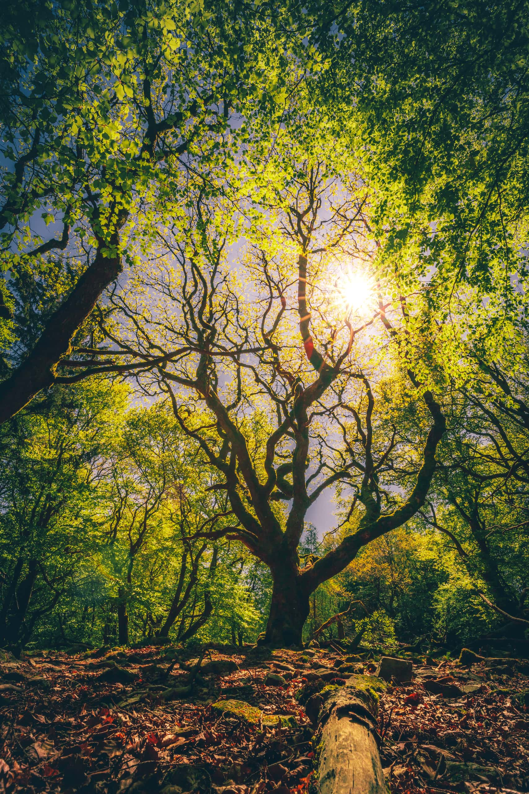 Alter Baum im Naturpark Taunus