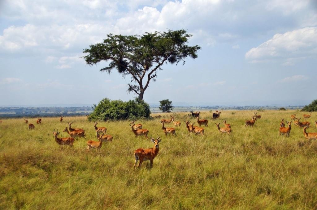 Uganda-Grasantilope in Uganda