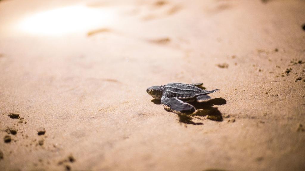 Meeresschildkröte am Strand