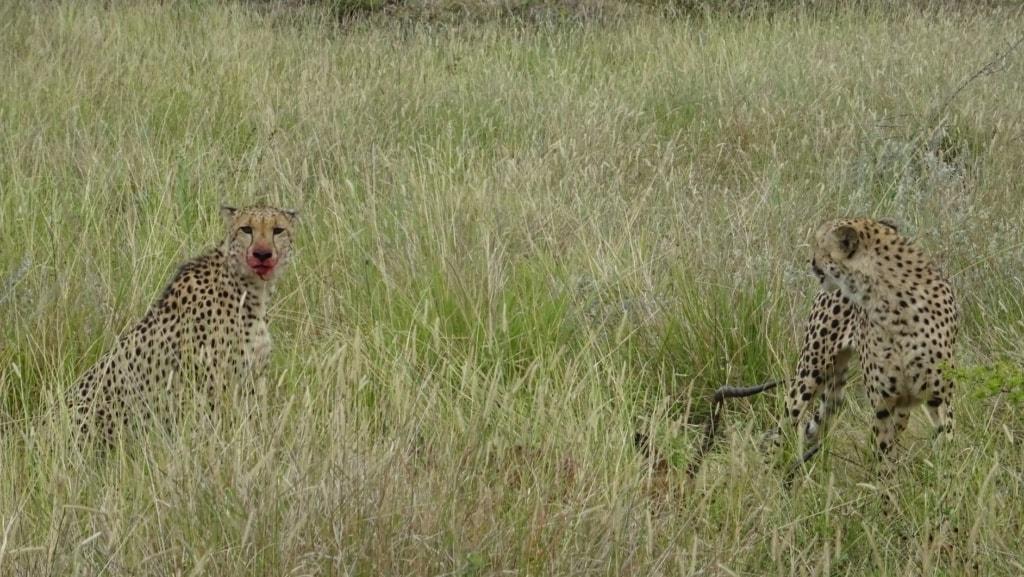 Geparden in Phinda