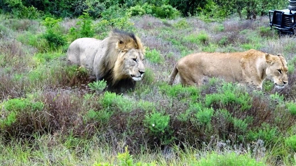 Löwen in Phinda