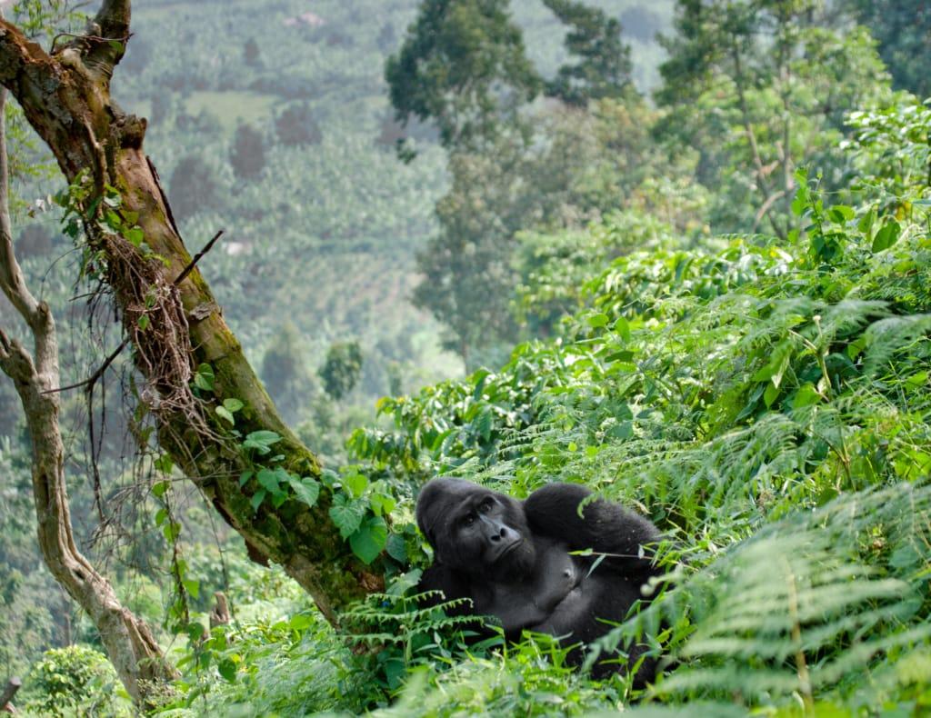 In Uganda leben die Hälfte der heute noch lebenden Berggorillas!