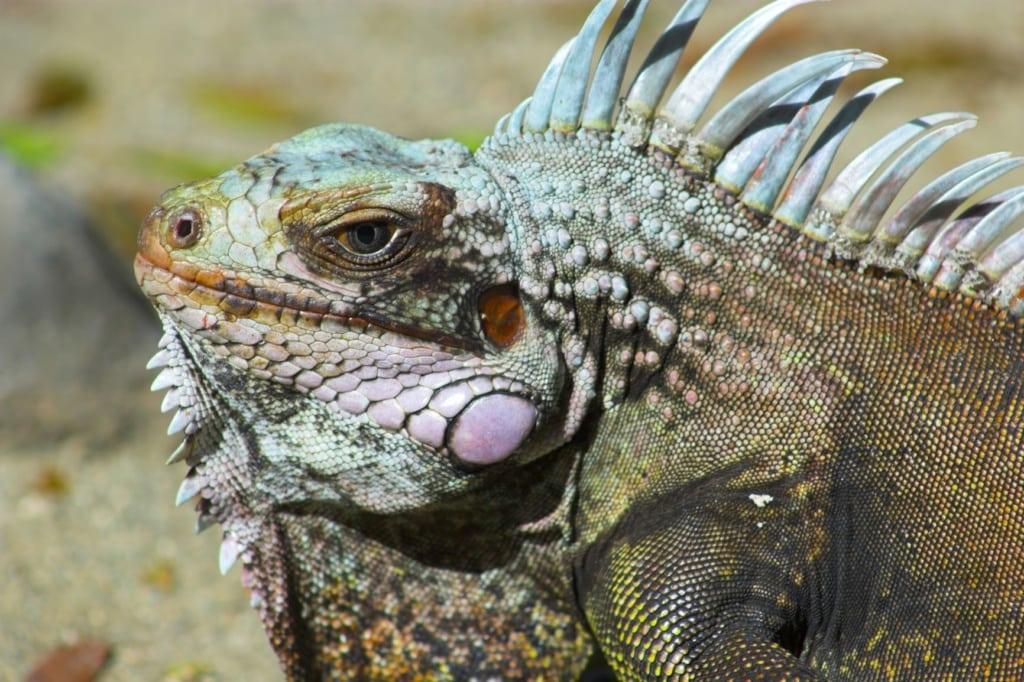 Echter Leguane auf den Amerikanische Jungferninseln