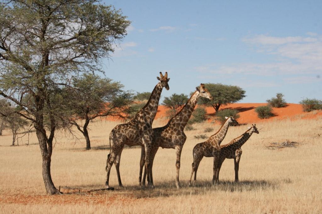 Eine Giraffenherde in der Kalahari in Namibia grast gemütlich im Schatten.