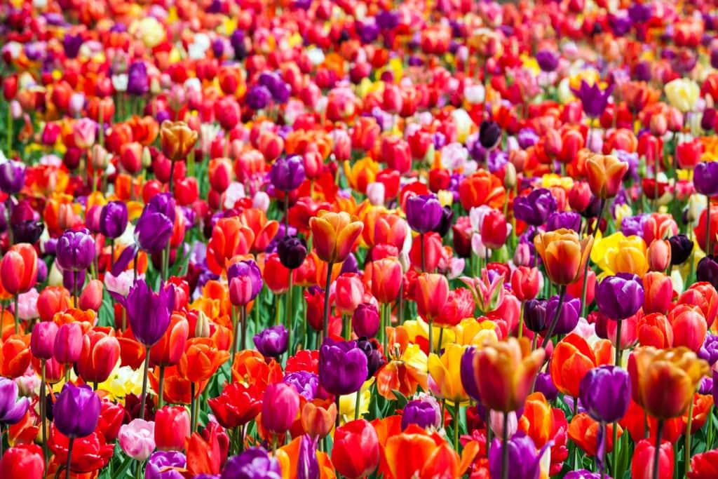 Ein wildes Blumenmeer präsentiert sich den Besuchern des Keukenhof in Holland.