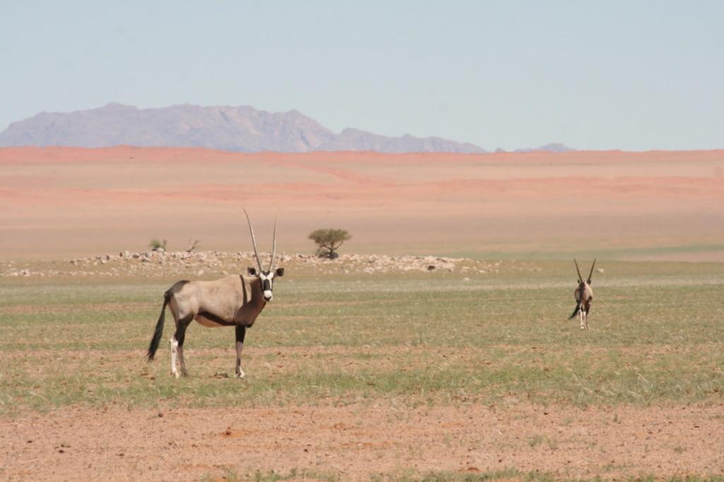 Ein Oryx staunt neugierig, wohin unsere Autorin Marie denn in Namibia hinwill.