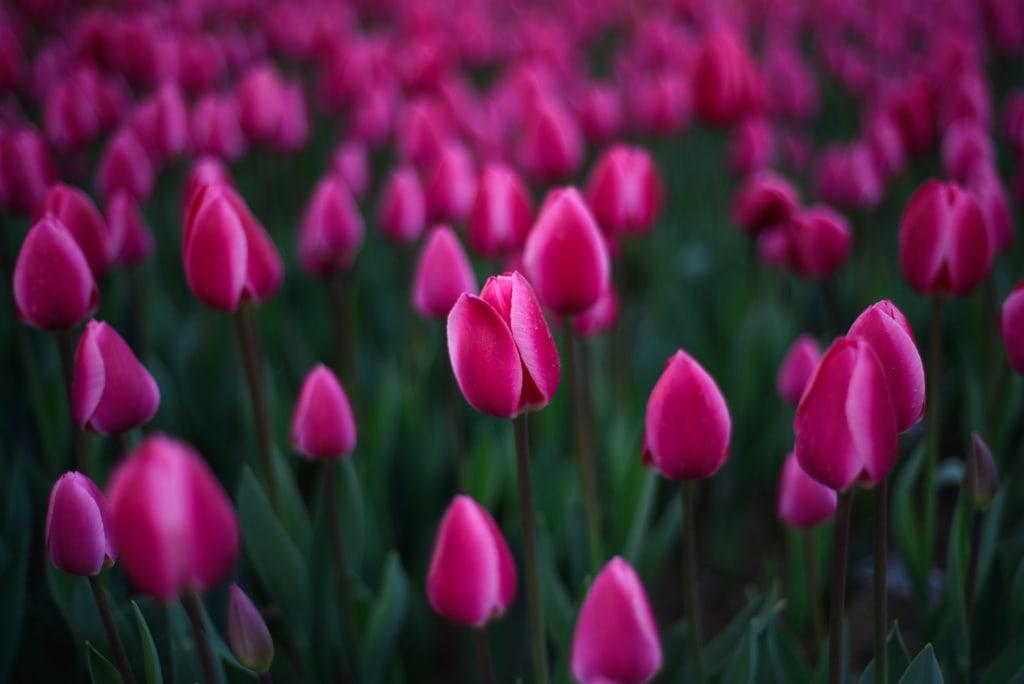 Tulpen gibt es heute in allen Farben – nur die schwarze Tulpe bleibt ein Mysterium.
