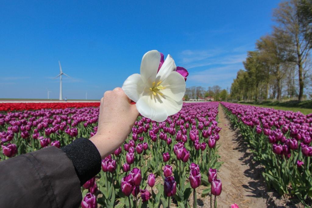 In Flevoland blühen von Januar bis Mai die Tulpenfelder.