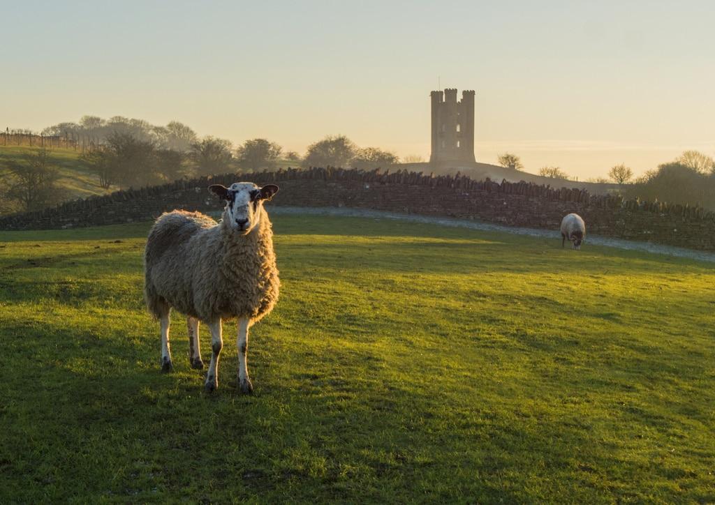 Schafe grasen auf einer Wiese vor dem Broadway Tower