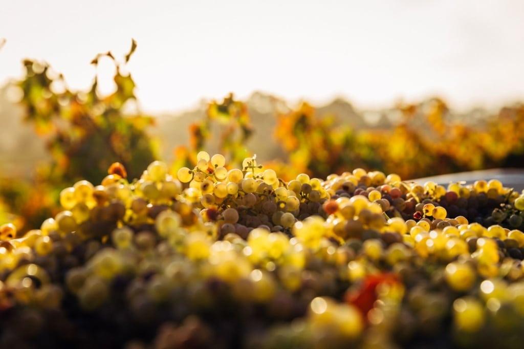 Haufen weiße Weintrauben nach der Ernte