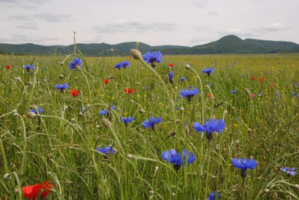 Blumen auf einer Wiese in Nordhessen