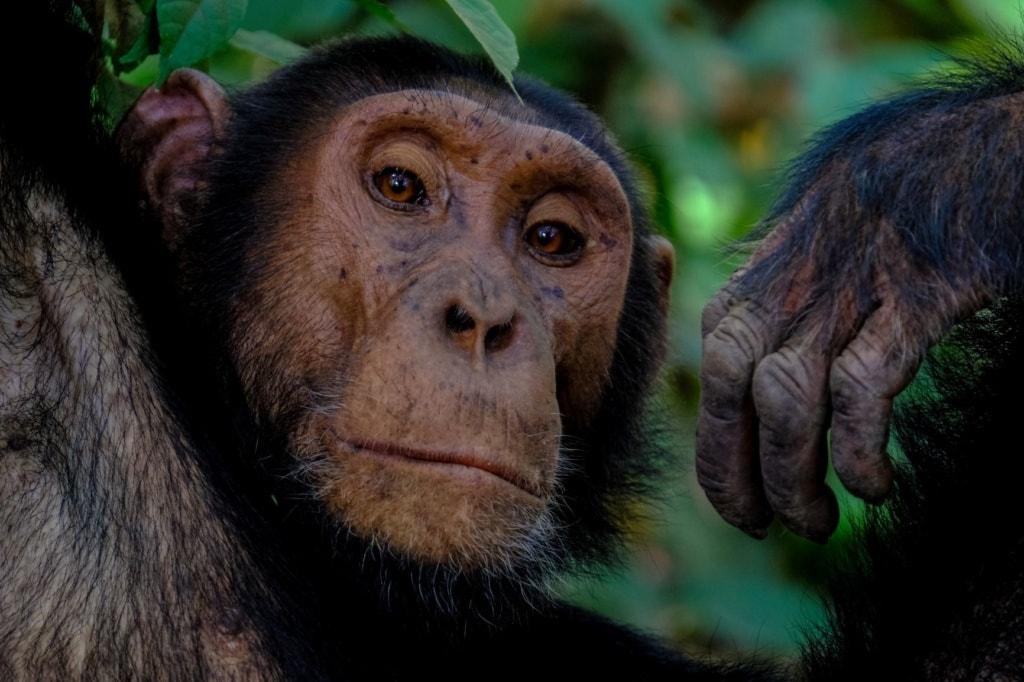 Schimpanse in Uganda