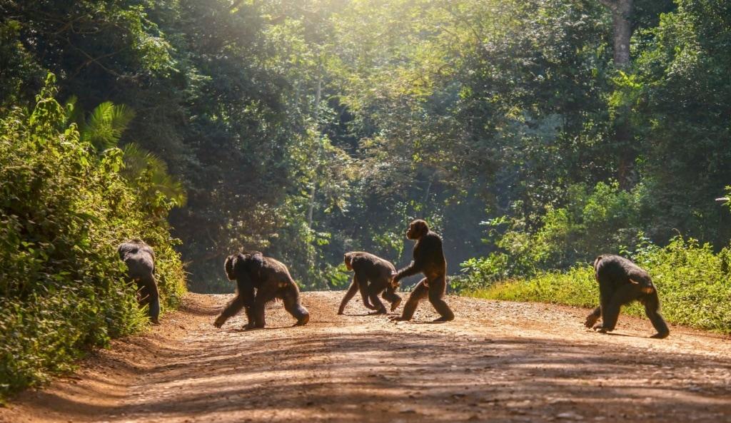 Schimpansengruppe auf Feldweg in Uganda