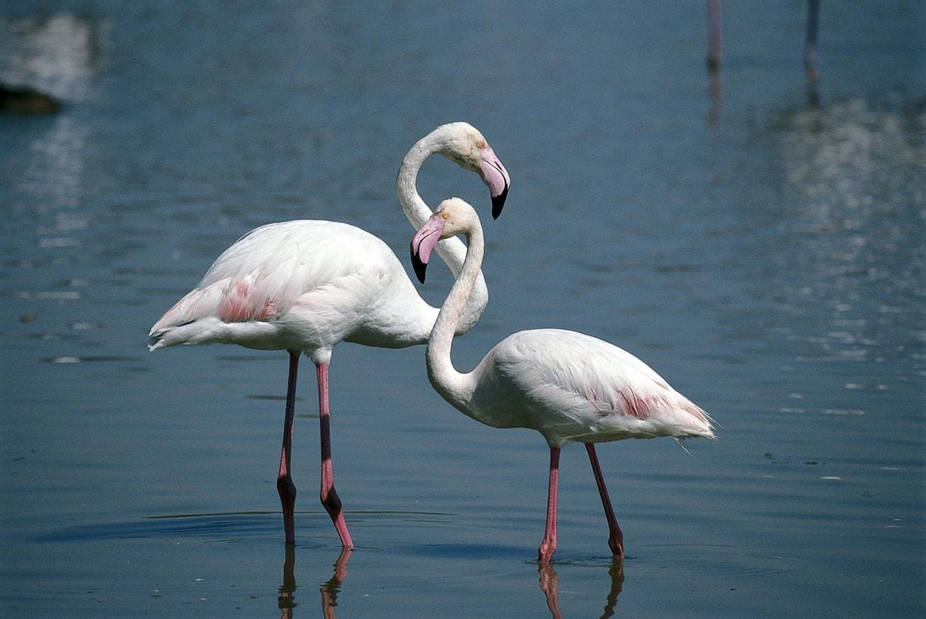 Flamingos im Podelta