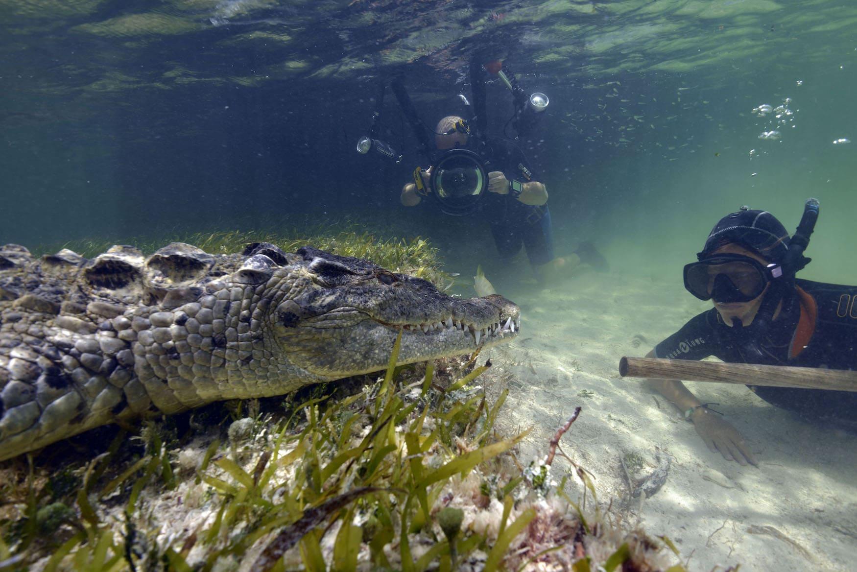 Taucher fotografieren Krokodile in Mexiko