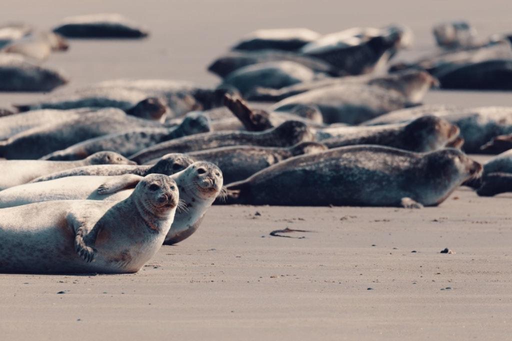 Kegelrobben auf Helgoland an der Nordsee