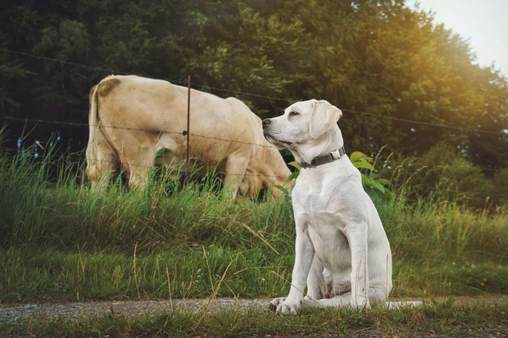 Verhalten gegenüber Kühen: Labrador auf Feldweg, im Hintergrund Kuh