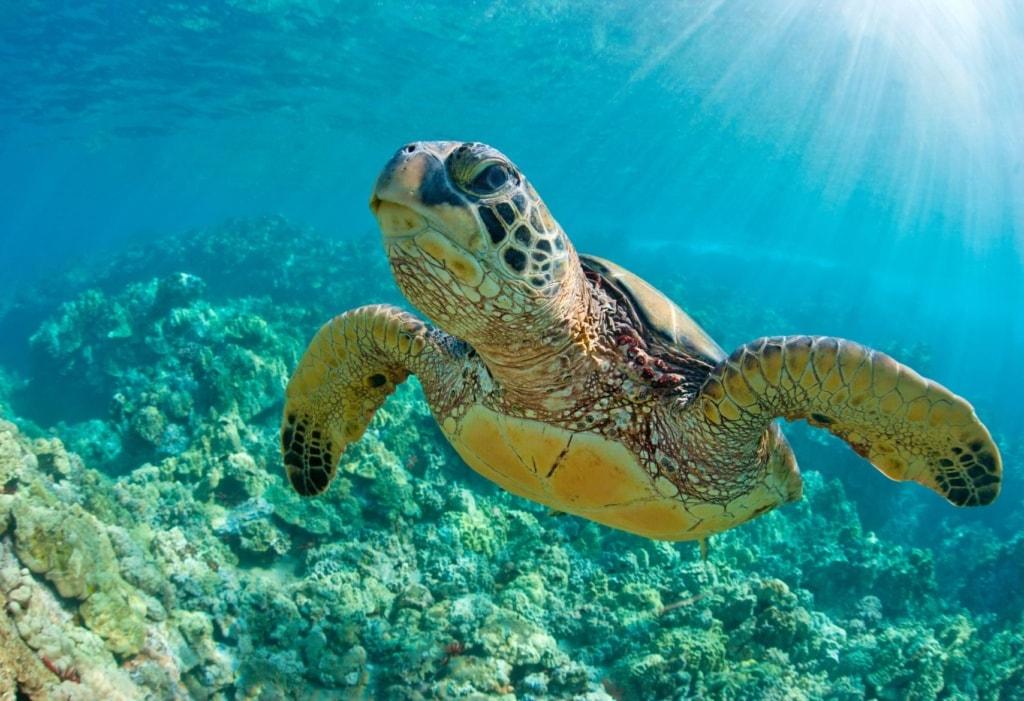 Meeresschildkröte im Wasser