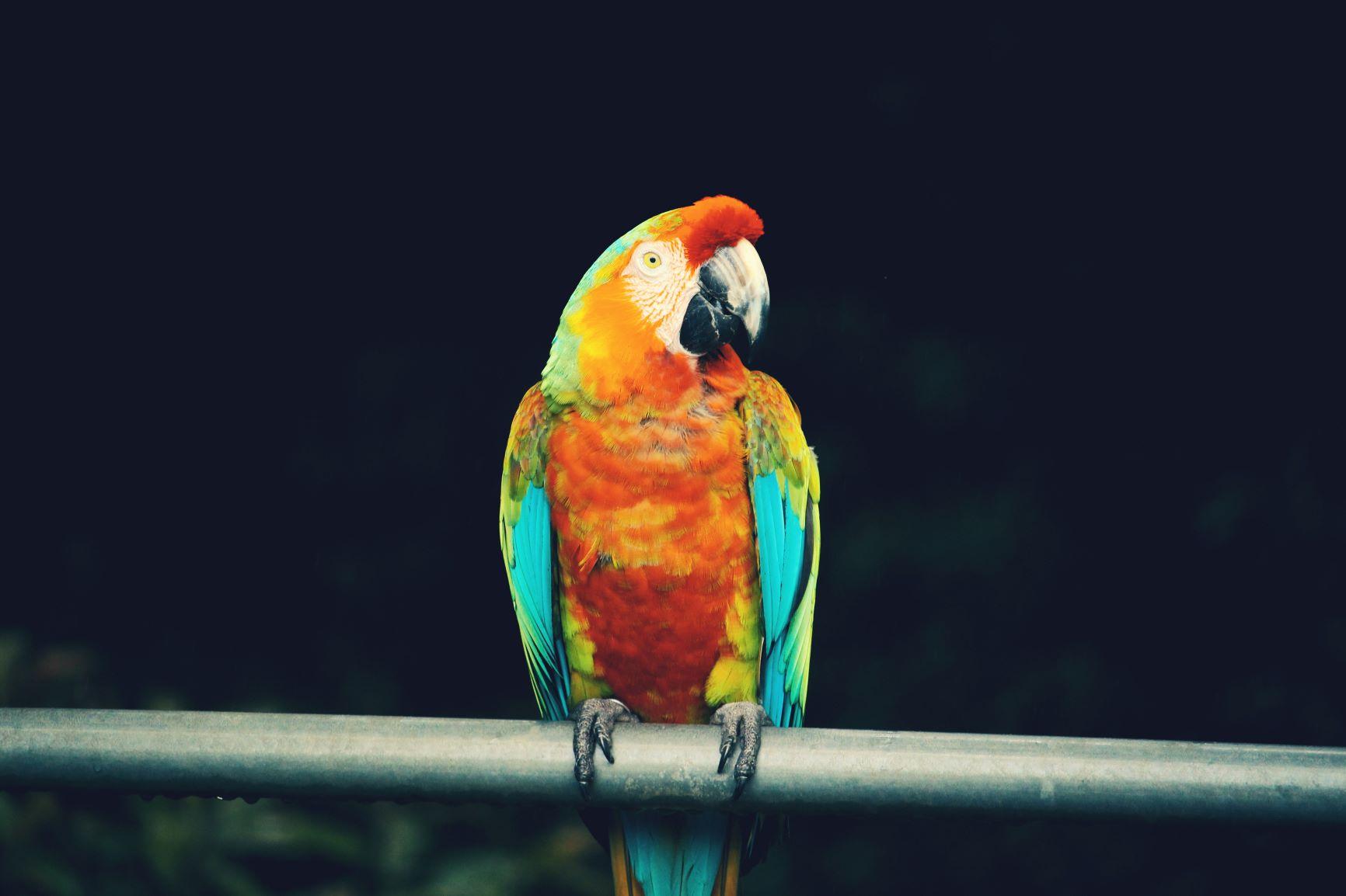 Papagei auf Maui