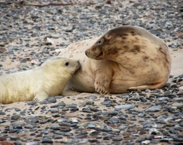 Robbenmutter mit Baby auf Helgoland
