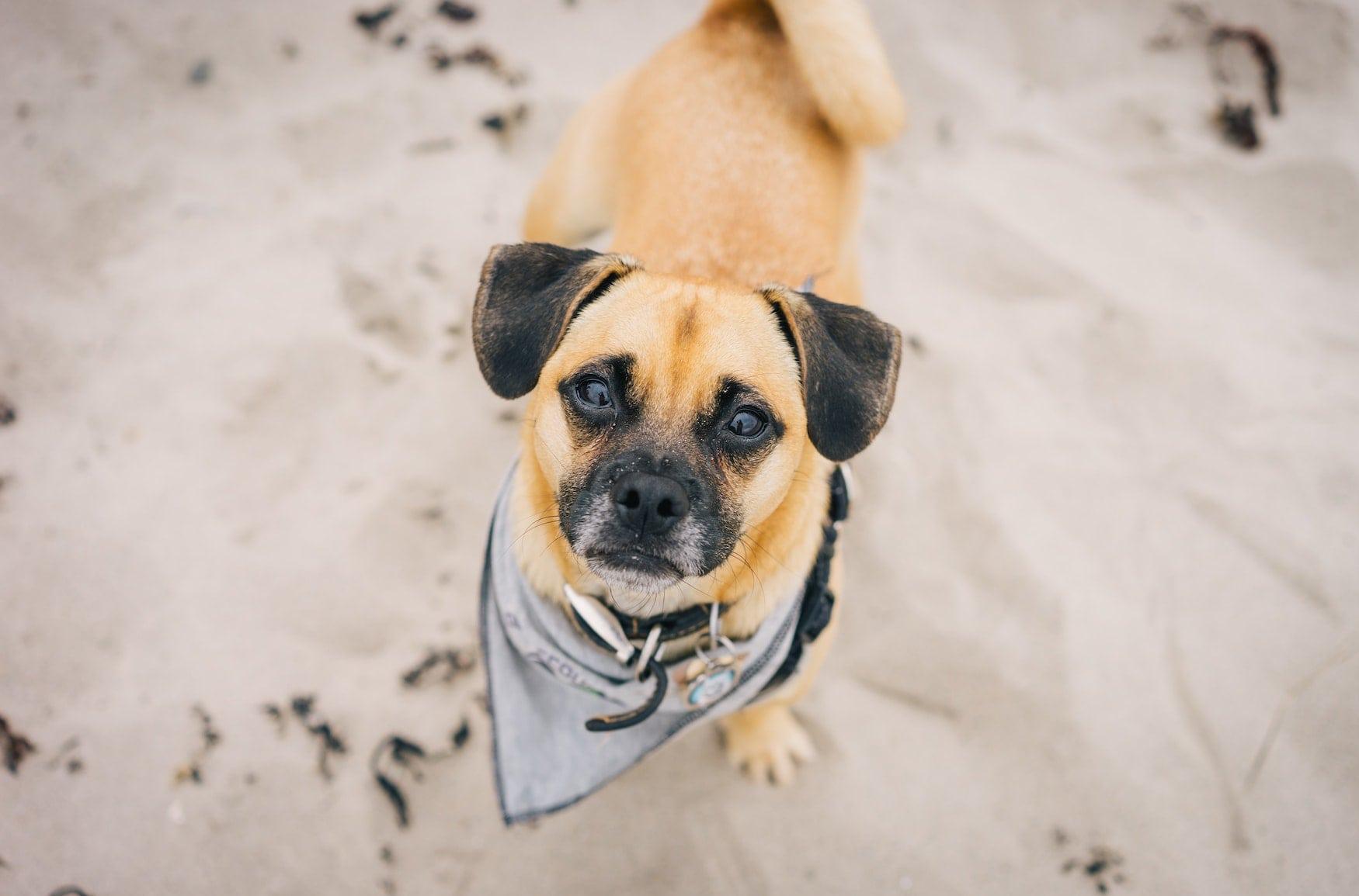 Hund am Strand guckt in Kamera