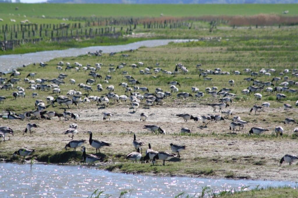 Vogelkiek im Beltringharder Koog an der Nordsee