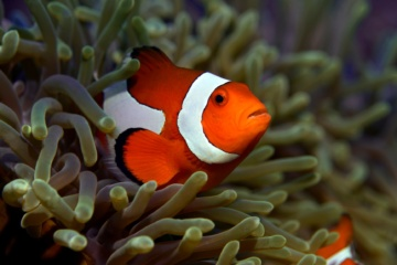 Insel Bohol Tauchen Clownfish