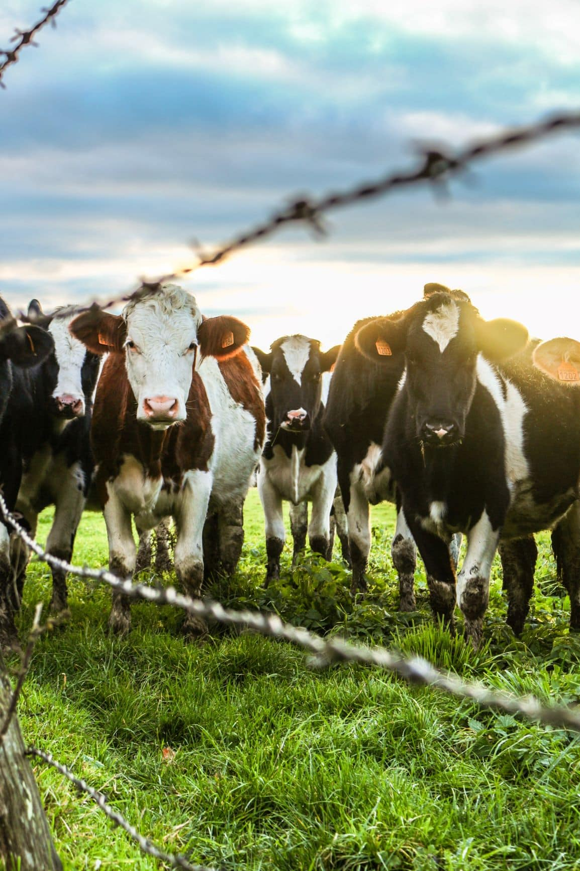 Kühe hinter Zaun auf Wiese