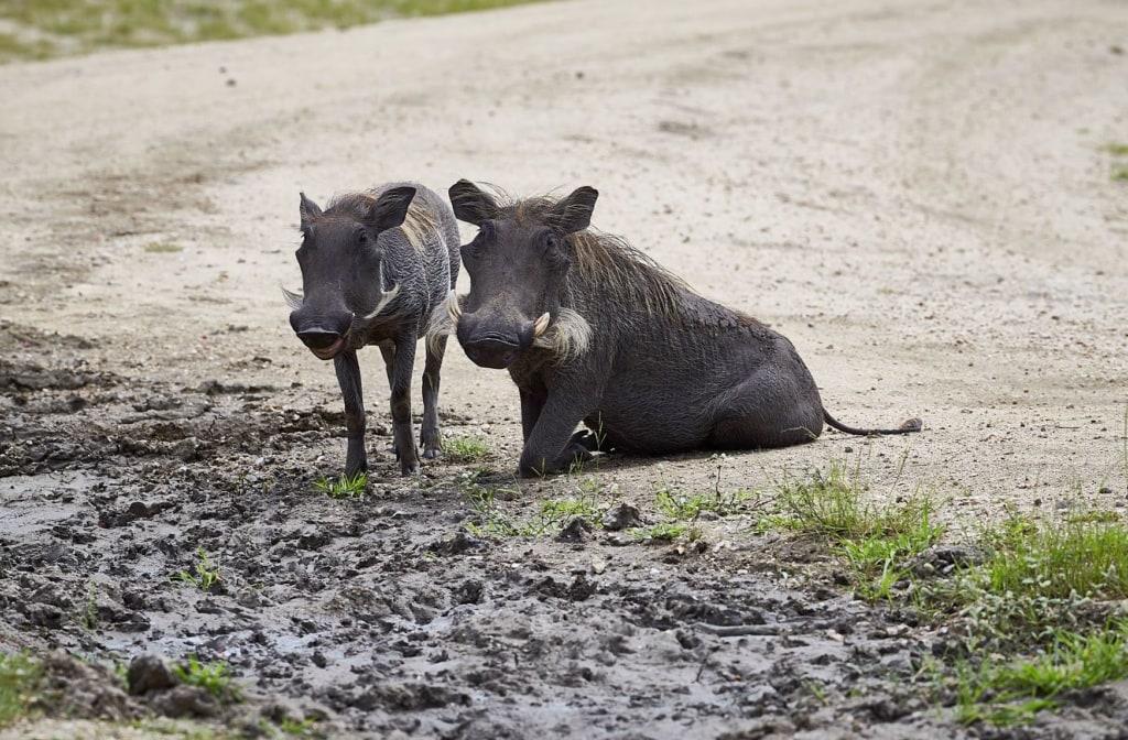 Warzenschweine in Tansania