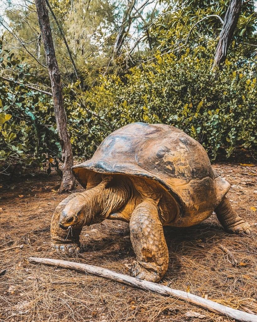 Aldabra-Riesenschildkröte auf den Seychellen