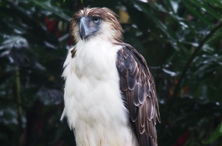 Der Philippine Eagle ist einer der bedrohtestes Tiere der Welt.