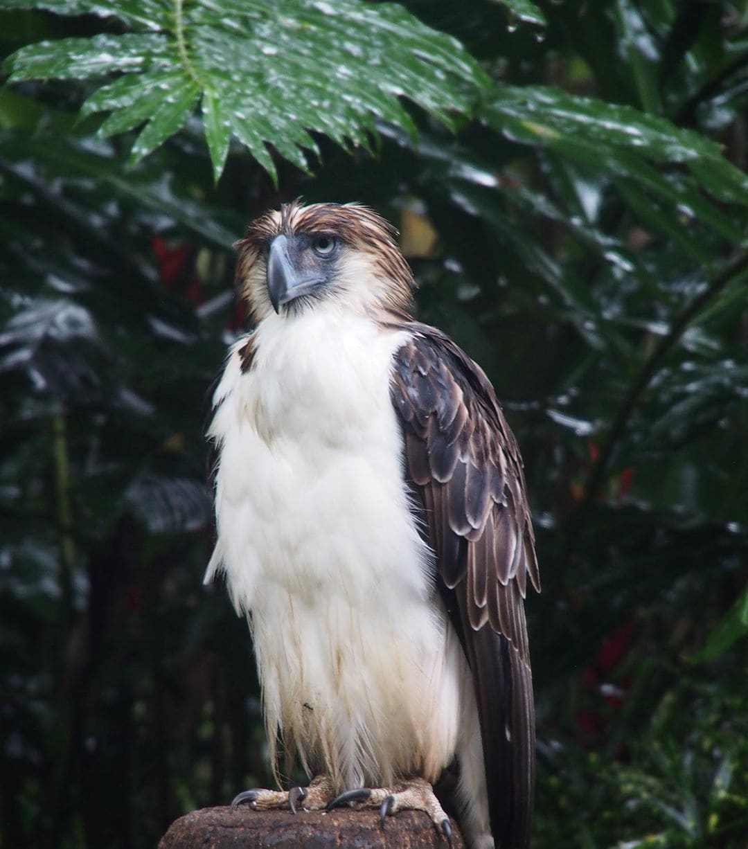 Schon lange gilt der Philippinenadler als Umweltschutz-Symbol – denn heute gibt es nur noch wenige hundert der wunderschönen, gigantischen Vögel. Sie leben in den dichten tropischen Wäldern im Süden der Philippinen, doch ihr Lebensraum wird durch Abholzung und Bejagung stark begrenzt. Wir waren mit @qatarairways in Mindanao, wo es noch die meisten wildlebenden Tiere gibt. Dieser angeschossene Adler wird in der @phileaglefdn aufgepäppelt, bevor er sich wieder im Regenwald sein Territorium sucht. #reporterontour #davaotogether #traveldeeper #comewithme #philippinen #philippineeagle #nature #regenwald #passionpassport #animalsatrisk #bird #adler #itsmorefuninphilippines #birds #asia #environment #davao #mindanao