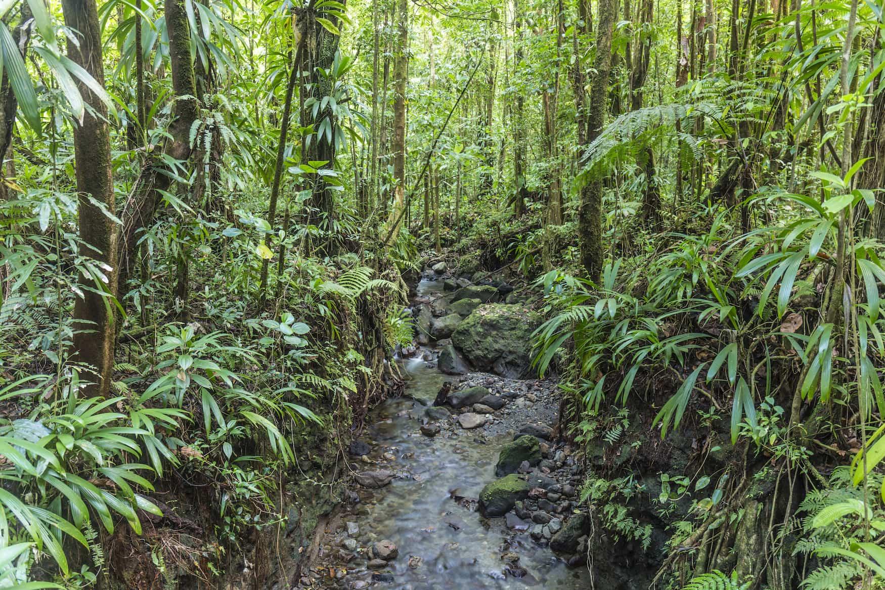 Dschungel mit kleinem Bach im morne Diablotins Nationalpark in Dominica