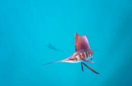 Segelfisch Mexiko,Fächerfisch