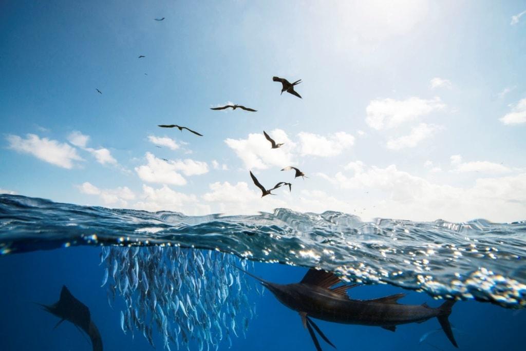 Segelfisch beim Jagen