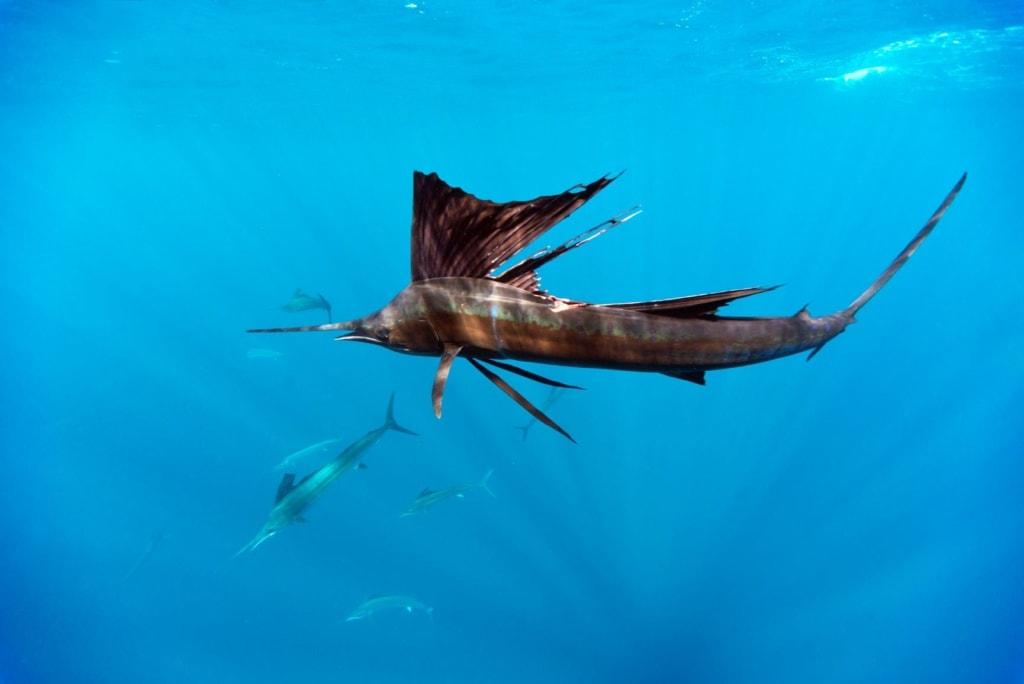 Segelfische