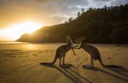 Westaustralien Urlaub: Kängurus am Strand
