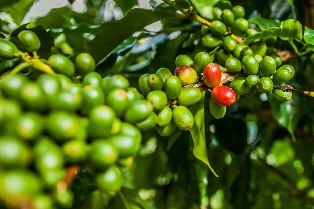 Kaffeekirschen in Jamaika