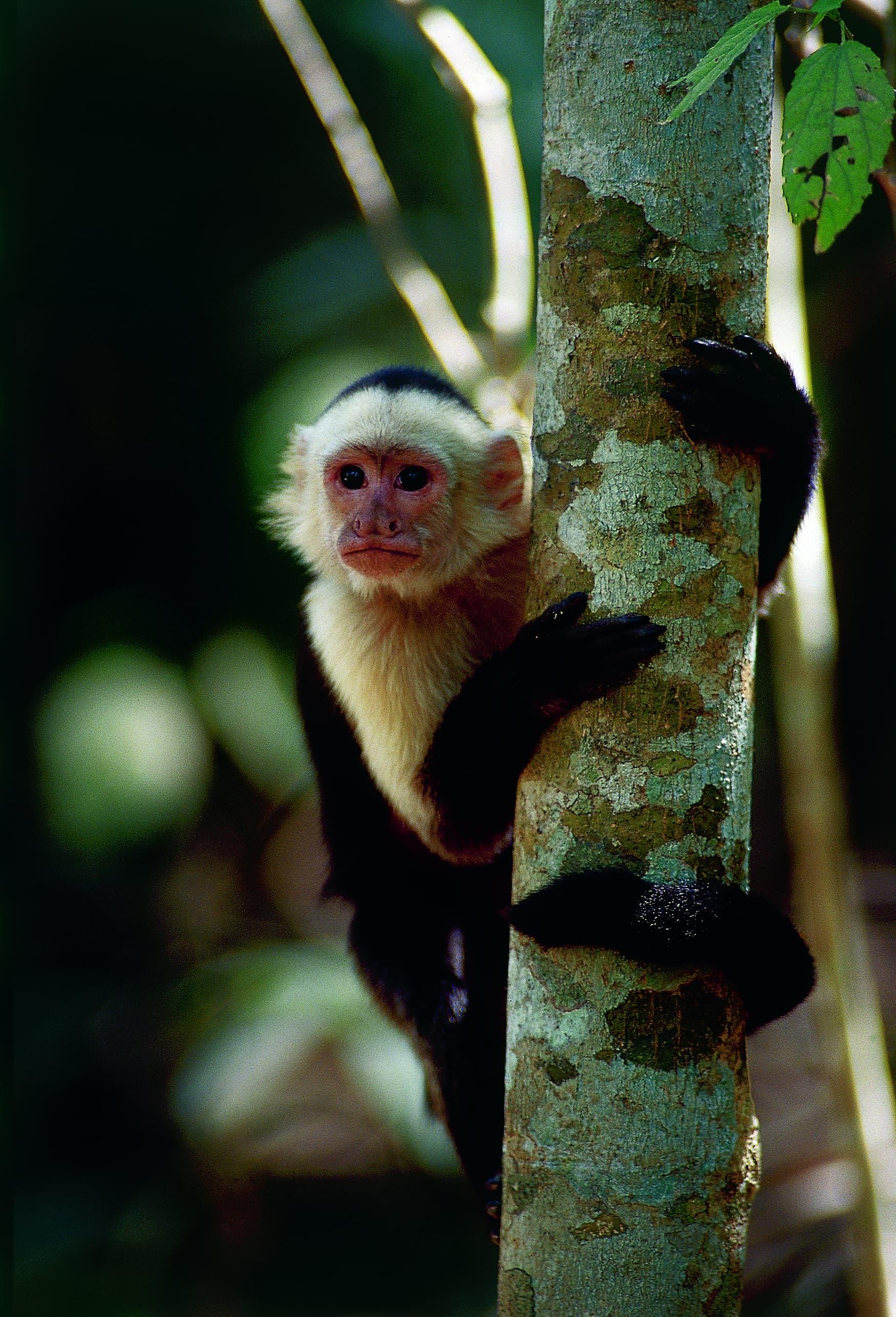Affe blickt in Kamera